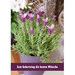 Lavendel Geburtstag