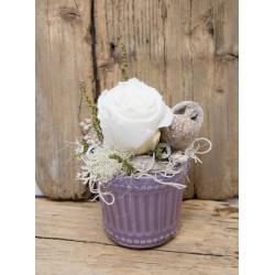 Rose im lila Topf