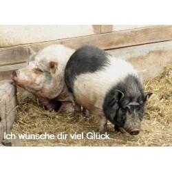 Viel Glück zwei Schweine