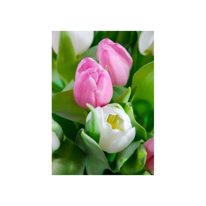 Tulpen rosa weiss